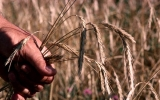 USDA Declares Winter Wheat Belt Drought Disaster Area
