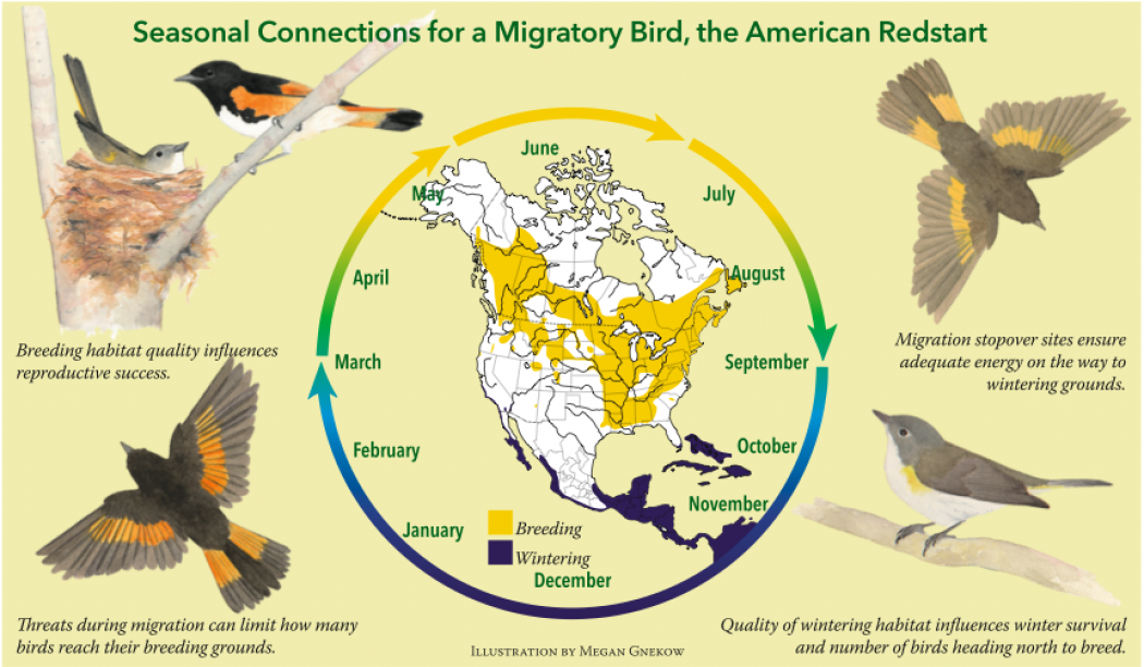 the impact of climate change on the migration of birds Climate change & bird migration there are many ways in which climate change already affects migratory birds more heavy storms, higher drought frequency, sea level rises and habitat shifts which result from global warming can all dramatically impact the patterns of migratory birds.