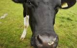 Oil, Gas and Cows Culprits in Methane Spike, Study Says