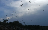 Climate Change May Bode Ill for Bat Populations