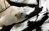 Polar Bear Numbers to Fall as Arctic Ice Shrinks