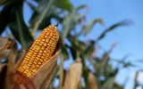 U.S. Faces Huge Crop Losses If Temps Keep Rising