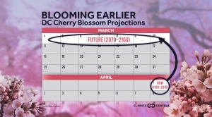 Projected Cherry Blossom Bloom Dates in a Warming World