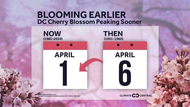 Cherry Blossoms in a Changing Climate