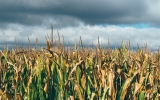 Climate Change Could Slash Staple Crops