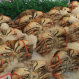 Acidifying Waters Put Dungeness Crabs at Risk