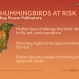 Climate Change Poses Risk to Hummingbirds