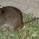 This Mammal Has Been Wiped Out Due to Climate Change