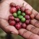 Warming Brews Big Trouble in Coffee Birthplace Ethiopia
