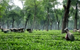 Climate Change Poses a Brewing Problem for Tea