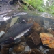 Pink Salmon Risks a Double Threat of Acidification