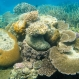 Coral Breeding May Help Cooler Reefs Survive