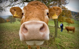 Image of the Day: Drought Forces Cows to Moo-ve East