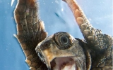 Image of the Day: A Turtle's Reaction to Climate Change