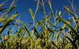 Study Finds Biofuels Worse for Climate than Gasoline