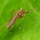 U.S. Faces Rise in Mosquito 'Danger Days'