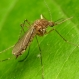 U.S. Faces a Rise in Mosquito 'Disease Danger Days'