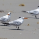 Terns Flee Warming Temps in Epic Migration to Alaska