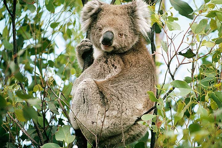 Image of the day koalas listed as threatened species - Koala components ...