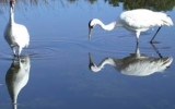 Texas Drought Threatens Endangered Whooping Cranes
