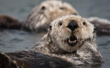 Image of the Day: Otters Are Climate-Saving Creatures