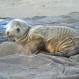sea lion pups . . . the new face of climate change?