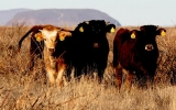 Drought-Stricken West Gives Rise to Old World Cows