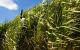 New Biofuel Crops Could Offer a Climate Advantage for the Midwest