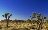 Global Warming May Push Joshua Trees Out of Namesake National Park