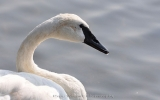 Warming Temperatures Help Endangered Swan Rebound