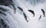 Threat to Salmon Imperils Alaska's Culture
