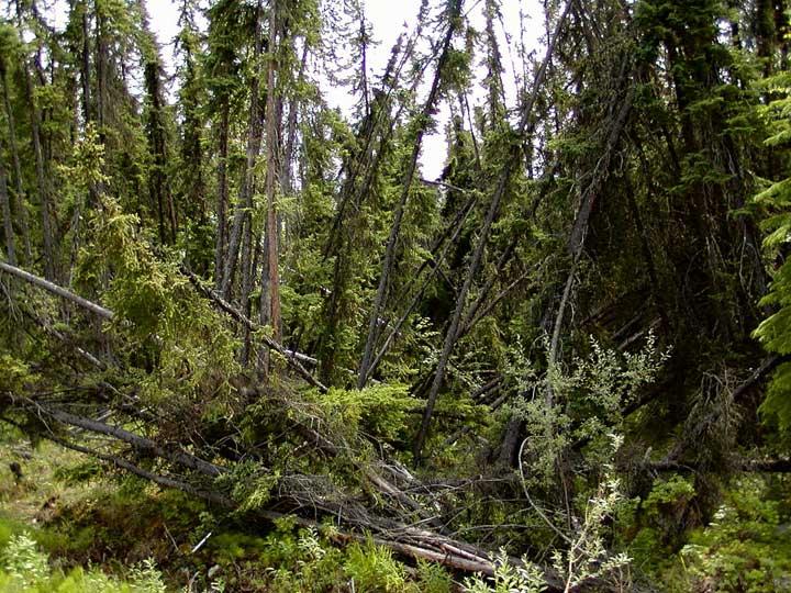 Image of the Day: A 'Drunken Forest' in Alaska