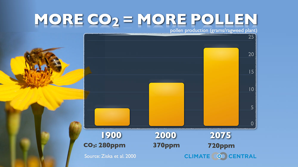 As CO2 rises, so does pollen production