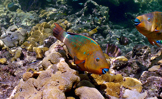 How can we save our dying coral reefs?