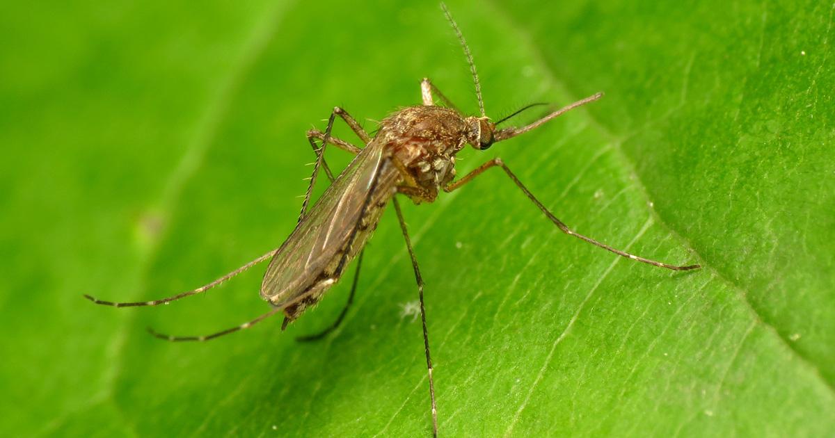 U S  Faces A Rise In Mosquito  U2018disease Danger Days U2019
