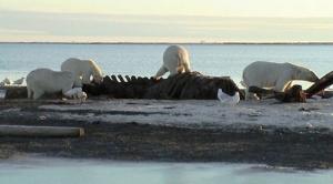 As Arctic Ice Melts, Polar Bears Find a New Menu