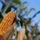 U.S. Faces Huge Crop Losses If Temps Keep Rising