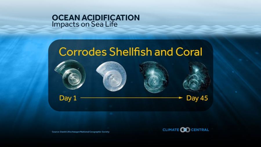 Ocean Acidification: Impacts on Sea Life