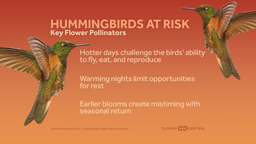 Climate Change Poses Risk to Hummingbirds, an Important Pollinator