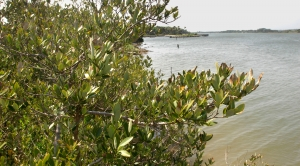 'Protectors of the Coast' — What the Northward March of Mangroves Means for Fishing, Flooding and Carbon