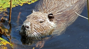 Rodent Threat Defeated As Delmarva Battles Rising Seas