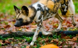 Heat Makes It Too Hot for Africa's Wild Dogs to Hunt