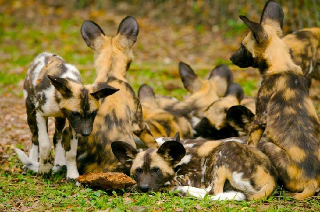 Image result for African wild dog