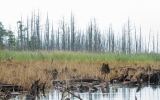 'Ghost Forests' Appear As Rising Seas Kill Trees